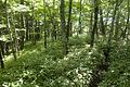 Forest in Doshi 03.jpg