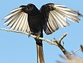 Fork-tailed Drongo, Dicrurus adsimilis, at Marakele National Park, Limpopo, South Africa (31836919767).jpg