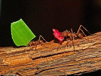 Atta mexicana - Image: Formicidae Atta mexicana