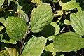 Fothergilla gardenii Mt. Airy 1zz.jpg