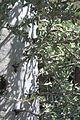 Fouquieria columnaris 2 - Desert Botanical Garden.jpg