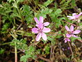 Four Erodium cicutarium flowers.jpg