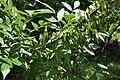 Fraxinus excelsior Common Ash იფანი (3).jpg