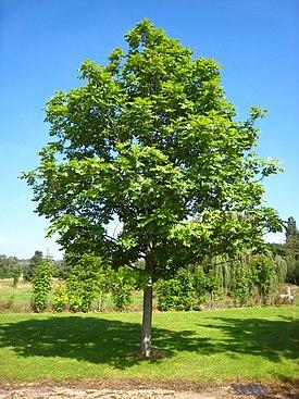 Ясень фото дерева и листьев осенью