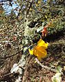 Fremontodendron californicum kz5.jpg