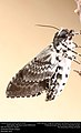 Freshly-eclosed Rustic Sphinx Month (Sphingidae, Manduca rustica (Fabricius)) (32508538234).jpg