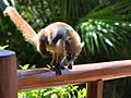 Friendly coatis.jpg