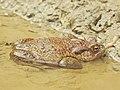 Frog (27437271507).jpg