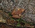 Frog in Disguise (6803576267).jpg