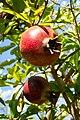 Fruit trees עצי פרי (41).JPG