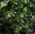 Fulles de Peucedanum oreoselinum.jpg