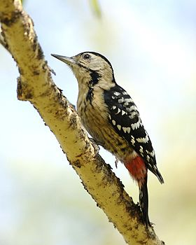 Fulvous-breasted Woodpecker (Dendrocopos macei).jpg