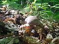 Funghi porcini Sasso Pisano.jpg