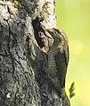Göktyta Eurasian Wryneck (20325252366).jpg