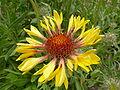 Gaillardia aristata (Compositae) flower.JPG