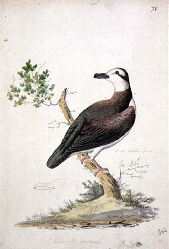 Polynesian ground dove - Illustration of a specimen from Moorea by William Ellis, 1770s