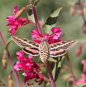 Entomophily - Hummingbird moth on Clarkia