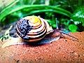 Garden Snail (4589125459).jpg