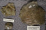 Gastonia osteoderms BYU 2.jpg