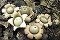 Geastrum saccatum 13071535.jpg