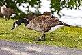 Geese (43427197052).jpg