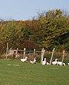 Geese near Nettlestead Green - geograph.org.uk - 1568515.jpg