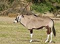 Gemsbok (Oryx gazella) male ... (50951926723).jpg