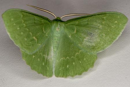 Geometra papilionaria, Lodz(Poland)02(js).jpg