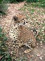 Gepard3.JPG