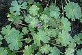 Geranium pyrenaicum kz14.jpg