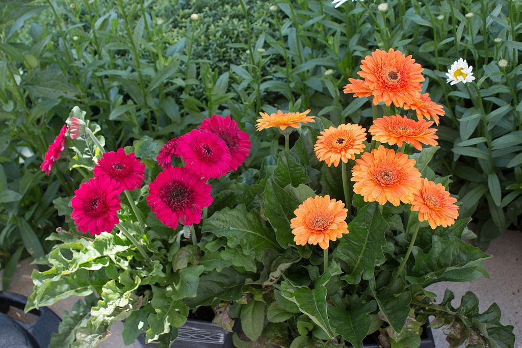 Gerbera daisy cultivar IMG 0368