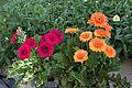 Gerbera daisy cultivar IMG 0368.jpg