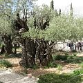Gethsemane, Mount of Olives in Jerusalem 06.jpg