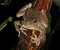 Giant Asian Toad (Phrynoidis aspera) (8688767810).jpg