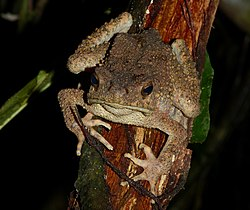 Giant Asian Toad (Phrynoidis aspera) (8688767810).jpg