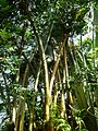 Giant Bamboo - Flickr - treegrow.jpg