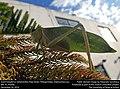 Giant Katydid or Saltamontes Hoja Verde (Tettigoniidae, Stilpnochlora sp.) (31801348262).jpg