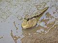 Giant Mudskipper (Periophthalmodon schlosseri) (15780648126).jpg