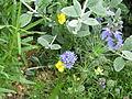 Gilia capitata chamissonis & Eschscholzia lobbii (9215495066).jpg