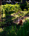 Gillie invades the neighbors garden again (7404645828).jpg