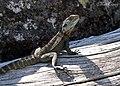 Gippsland Water Dragon (Intellegama lesueurii howitii) (8397094289).jpg