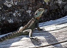 Gippsland Water Dragon (Intellegama lesueurii howitii) (8397094289).jpg