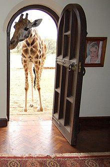 A Rothschild giraffe at the front door of Giraffe Manor.