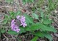 Glandularia canadensis Tennessee.jpg