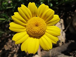 Glebionis segetum inflorescence (03).jpg