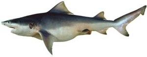 River shark - Image: Glyphis glyphis csiro nfc