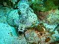 Glyptauchen panduratus Goblinfish P1021065.JPG