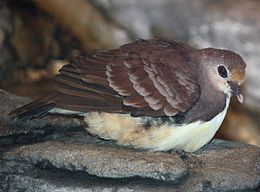 Golden Heart Dove 058.jpg