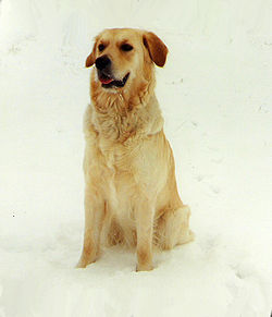 Golden Retriever-Sara.jpg