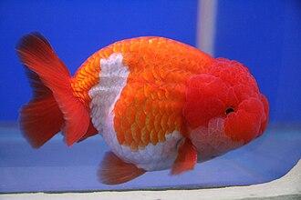Lionchu - Image: Goldfish Lionchu first orize winner